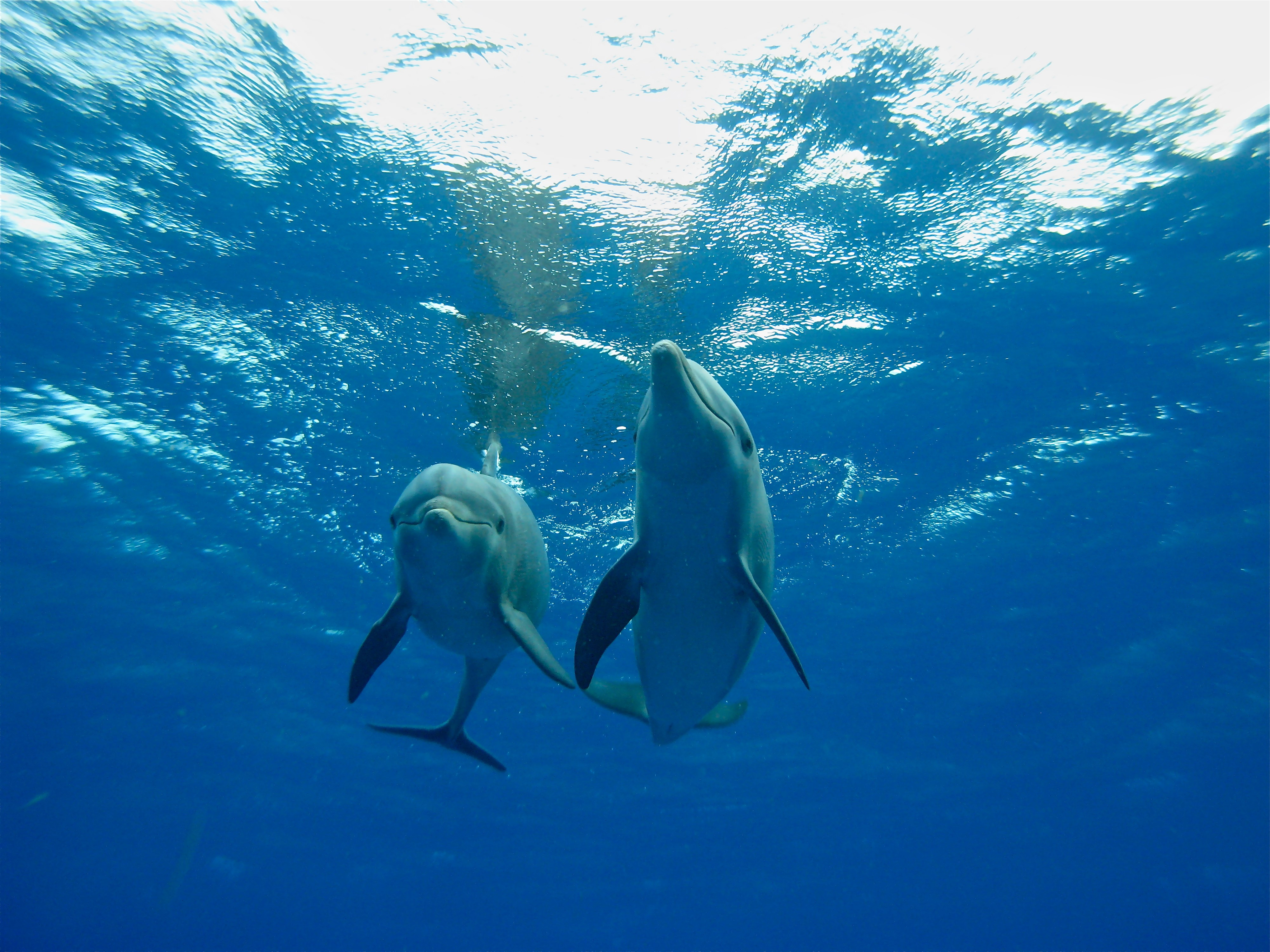 Two dolphins swimming in sea
