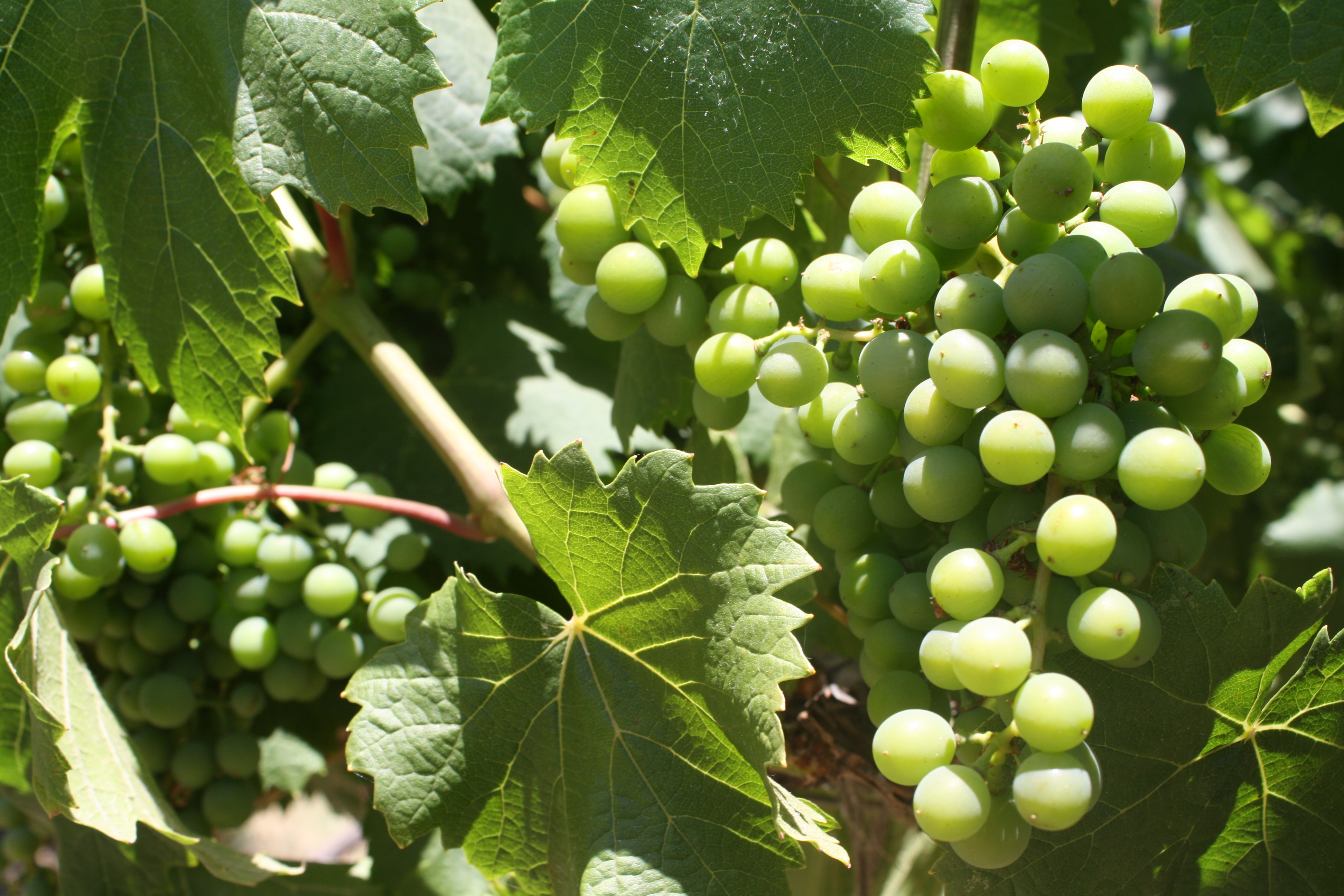 Close up of grapes and vines