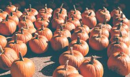 Large rows of pumpkins